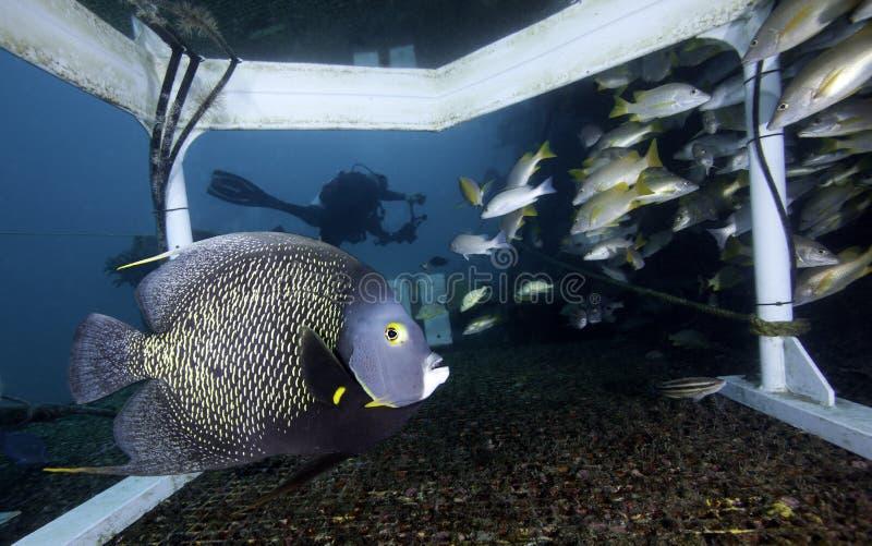 Angelfish francese - habitat del Aquarius immagine stock