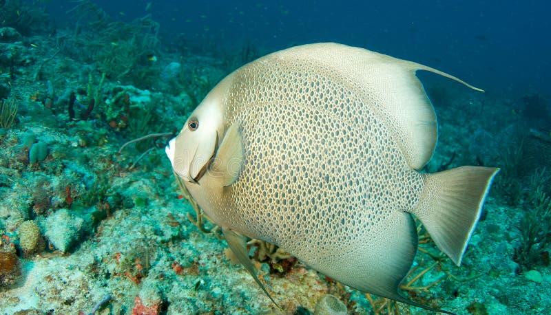 Angelfish Gris Imágenes de archivo libres de regalías