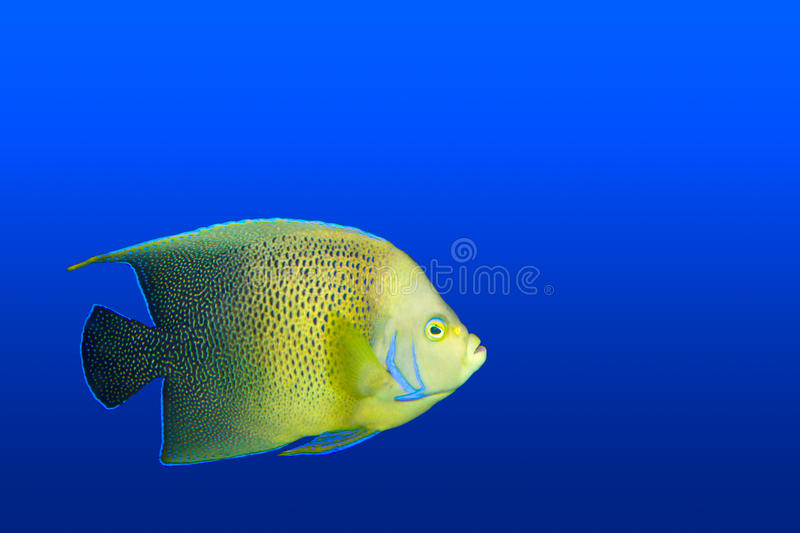 Angelfish no aquário isolado fotografia de stock royalty free