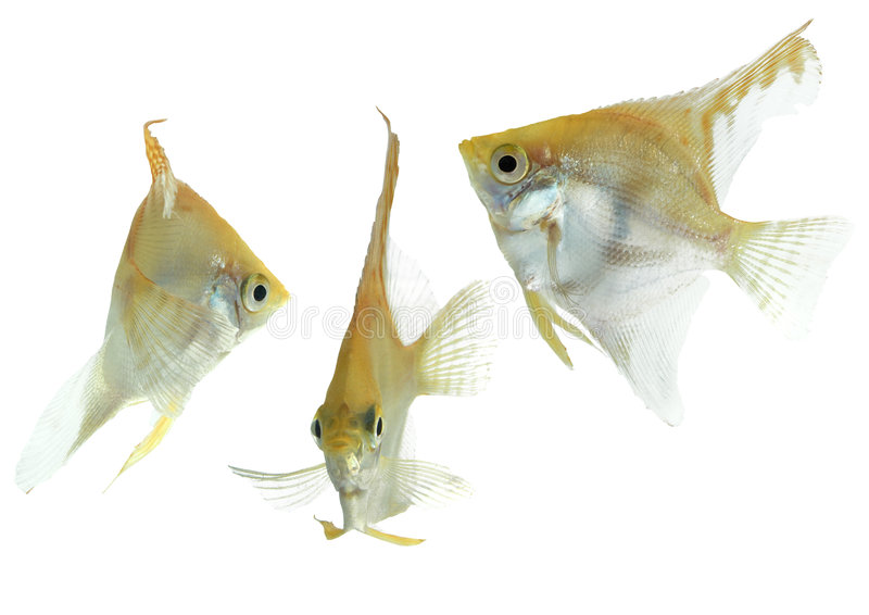 Angelfish (oro) - colección foto de archivo