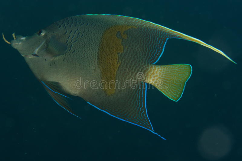 Angelfish (Pomacanthus maculosus) stock image
