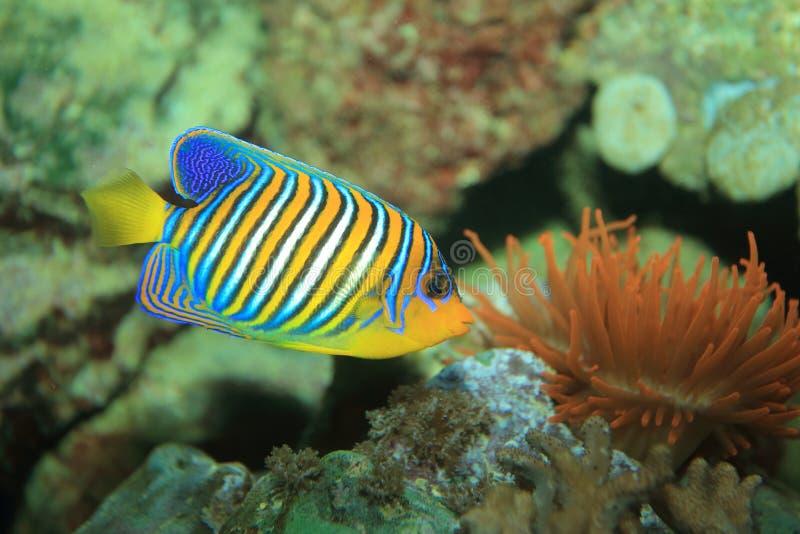 Angelfish régio fotos de stock royalty free