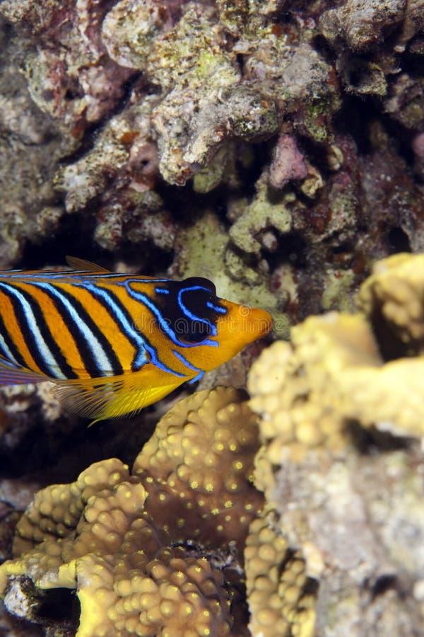 Angelfish régio imagens de stock royalty free