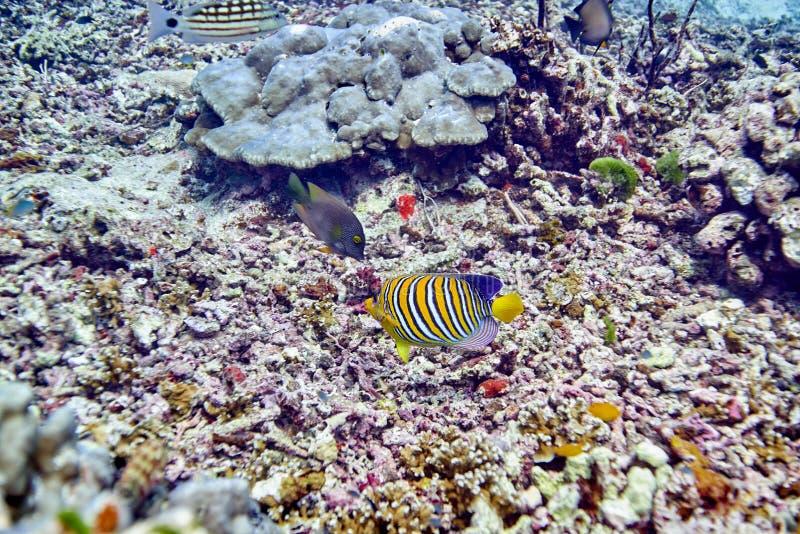 Angelfish régio foto de stock royalty free