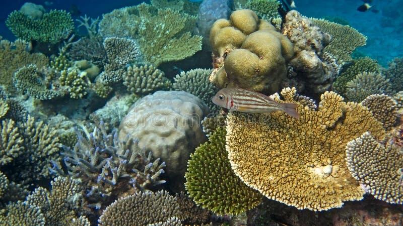 Angelfish régio imagens de stock