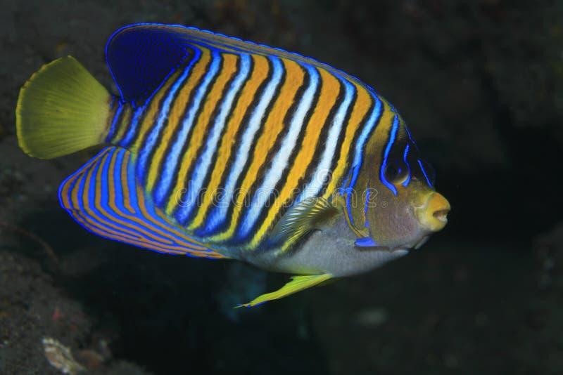 Angelfish régio fotografia de stock royalty free