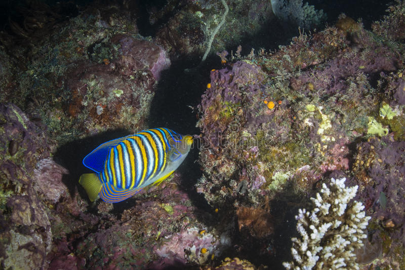Angelfish régio imagem de stock royalty free