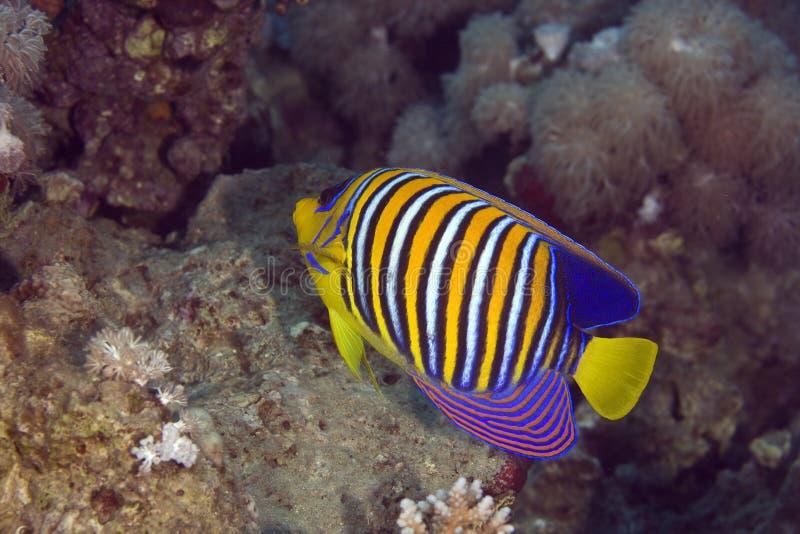 Angelfish régio (diacanthus dos pygoplites) fotografia de stock