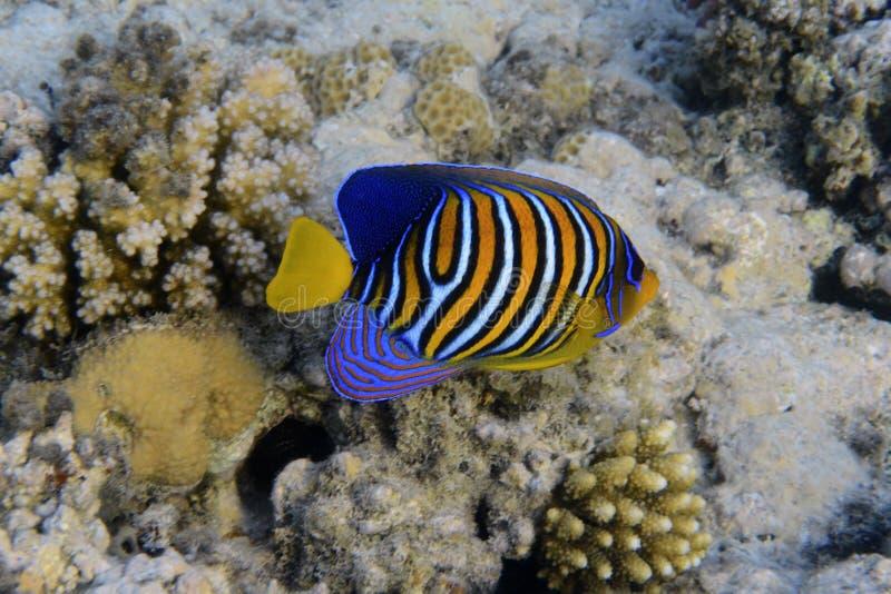 Angelfish real foto de stock