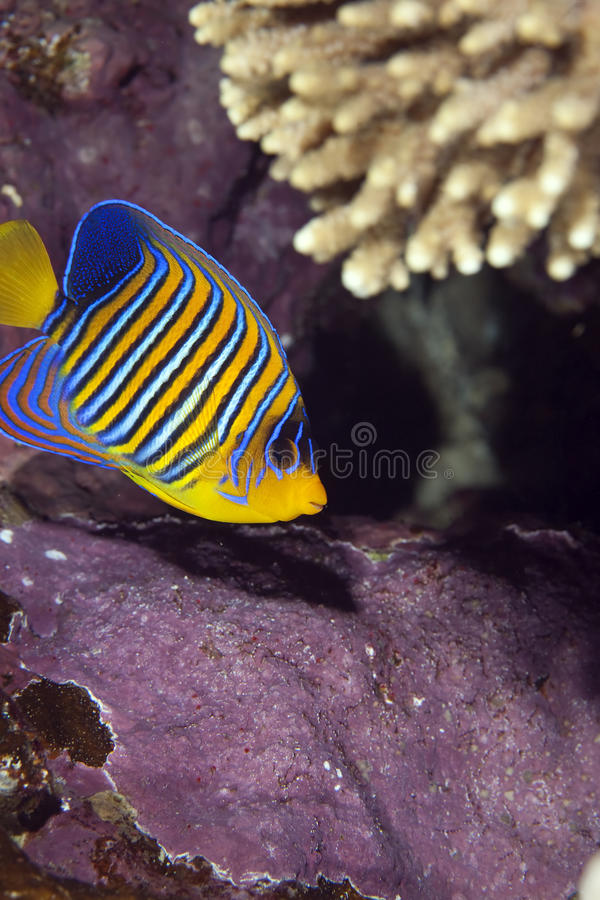 Angelfish regale immagine stock
