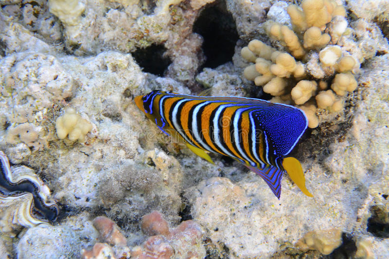 Angelfish royal photos stock