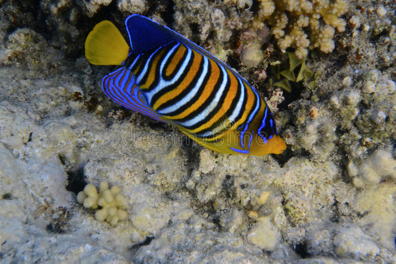 Angelfish royal photographie stock
