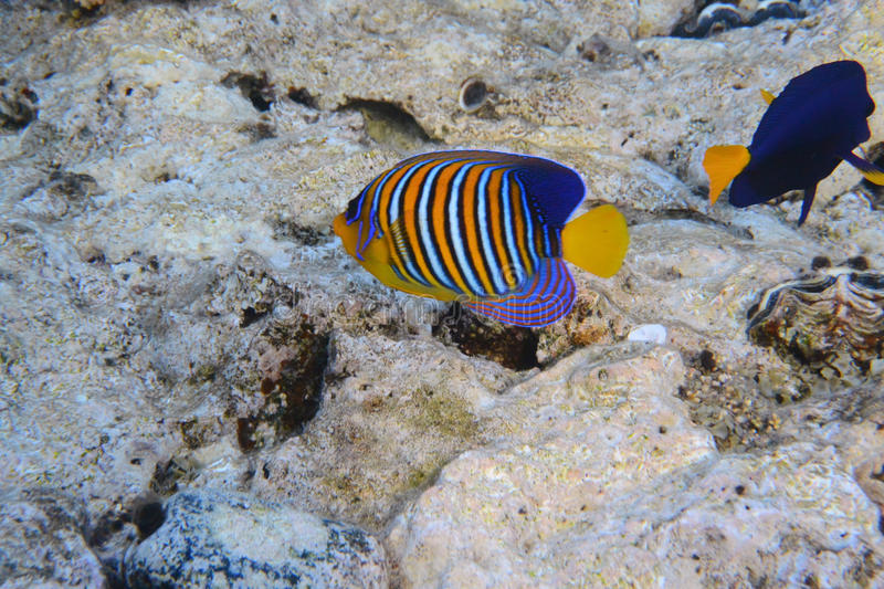 Angelfish royal images stock
