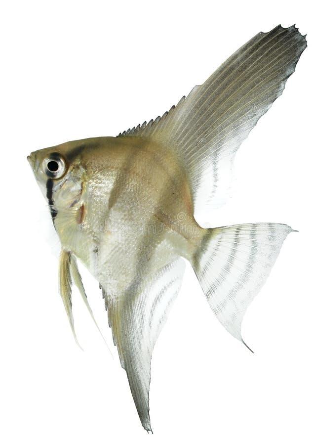 Angelfish (scalare de Pterophyllum) imagem de stock