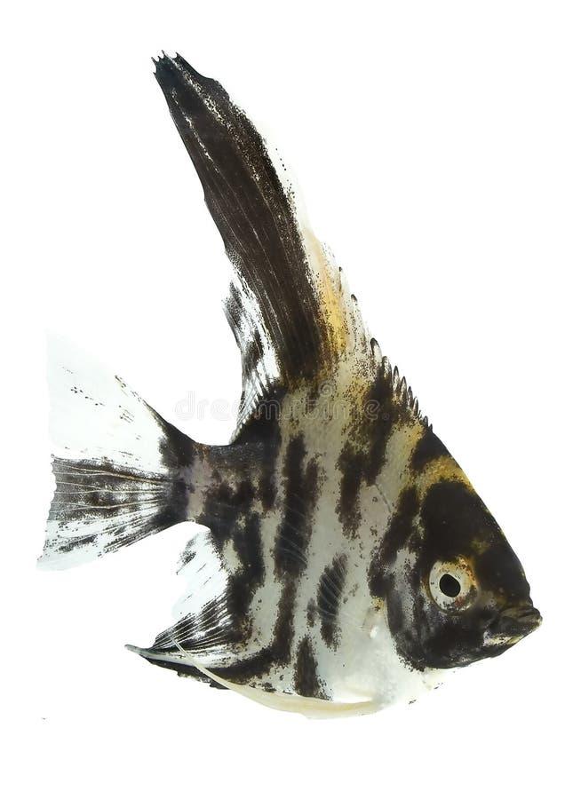 Angelfish (scalare De Pterophyllum) - Noir Image libre de droits
