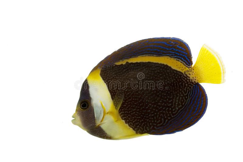 Angelfish scribacchiato fotografie stock