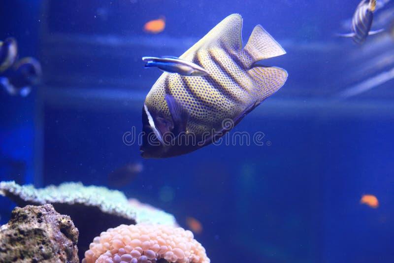 angelfish sixbar стоковые фото