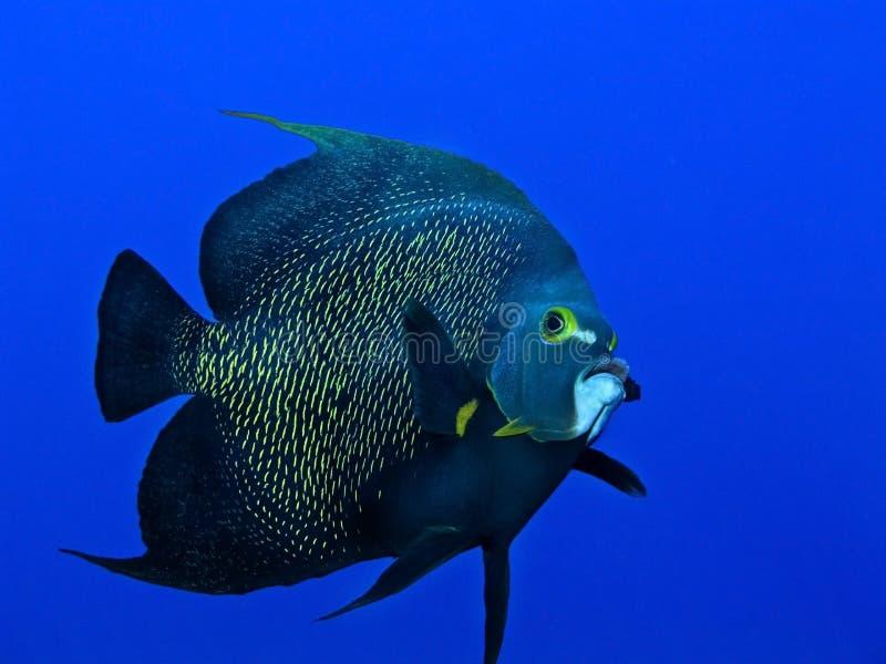 Angelfish swimming royalty free stock images