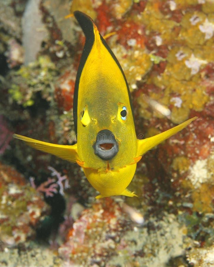 Angelfish tropical amarelo, utila, honduras imagem de stock royalty free