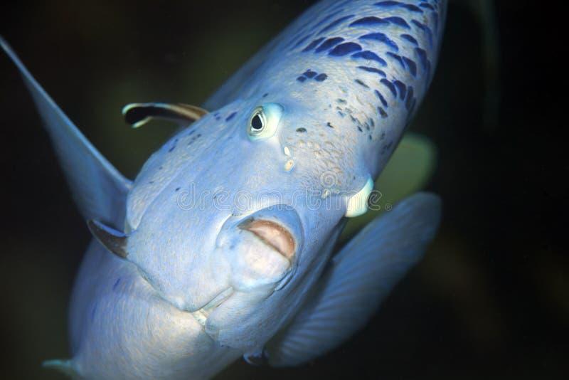angelfish yellowbar стоковое фото