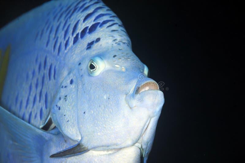 angelfish yellowbar стоковые фото