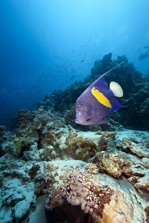angelfish yellowbar стоковое изображение