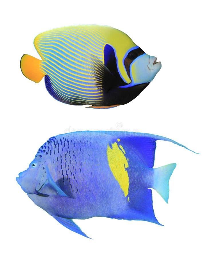 Angelfishes royalty free stock image