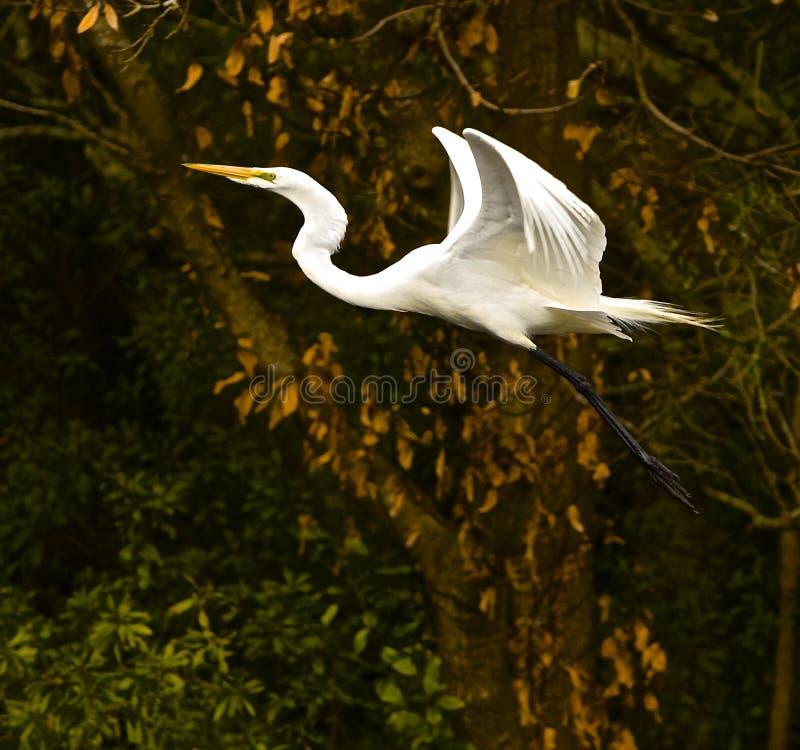 Angelic Flight av den stora ägretthägret arkivbild