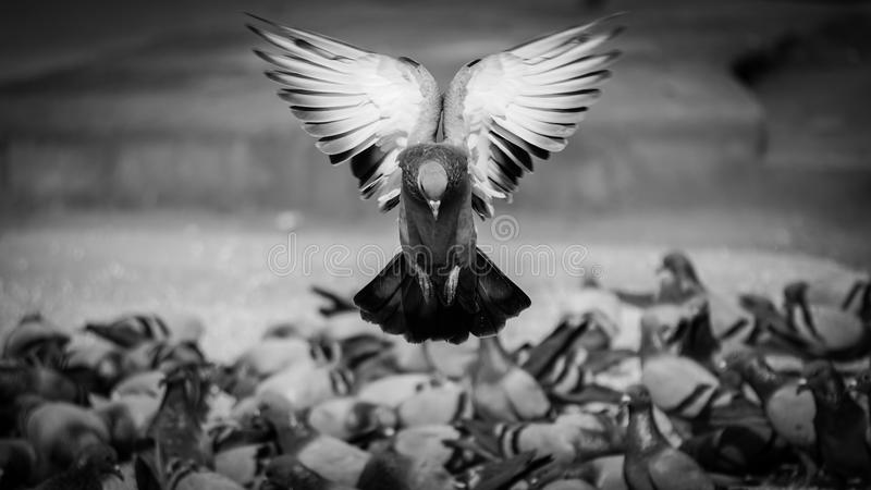 The angelic pigeon royalty free stock images