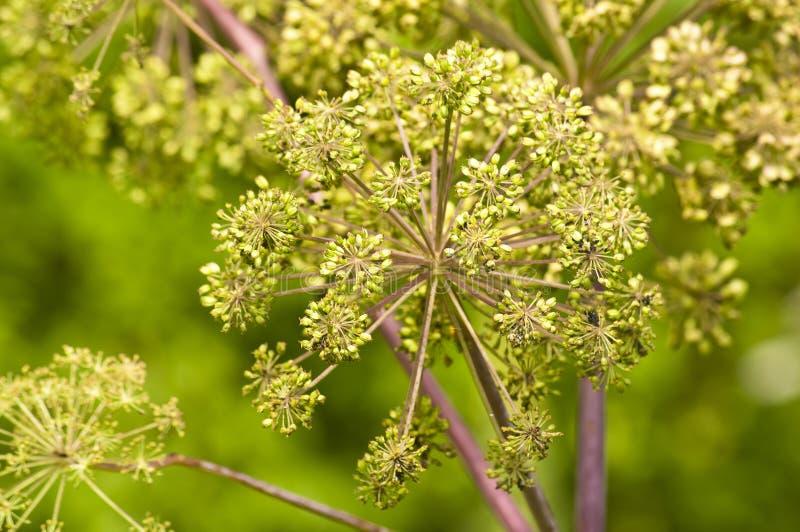 angelica φυτό ιατρικής τροφίμων στοκ εικόνες