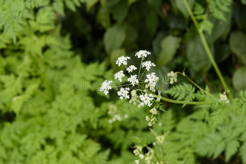 Angelica acutiloba flowers. Wild angelica acutiloba flowers in a outdoor in Jeju Island royalty free stock images