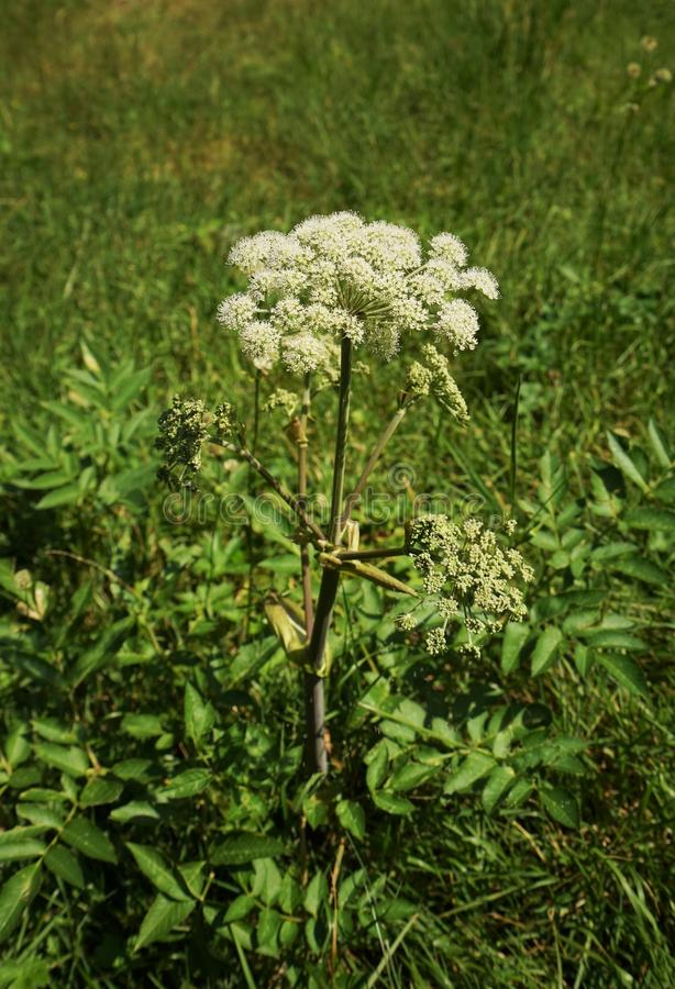 Free Angelica Archangelica Royalty Free Stock Image - 98602076