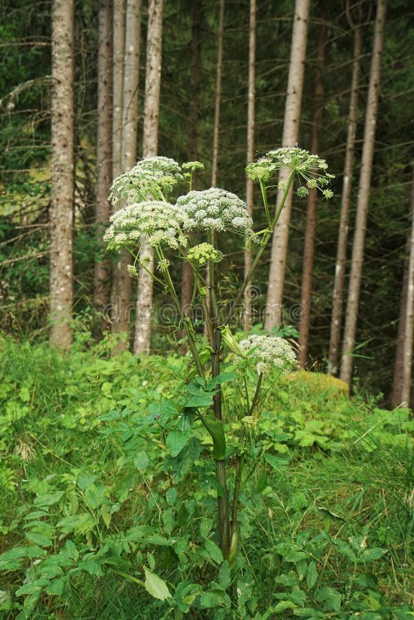 Free Angelica Archangelica Royalty Free Stock Photo - 98602305