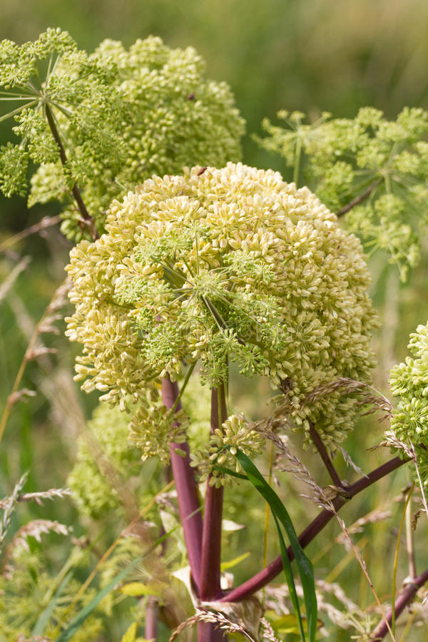 Angelica archangelica. Angelica close photo on green background royalty free stock images