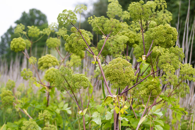Angelica archangelica. Angelica close photo on green background stock photo