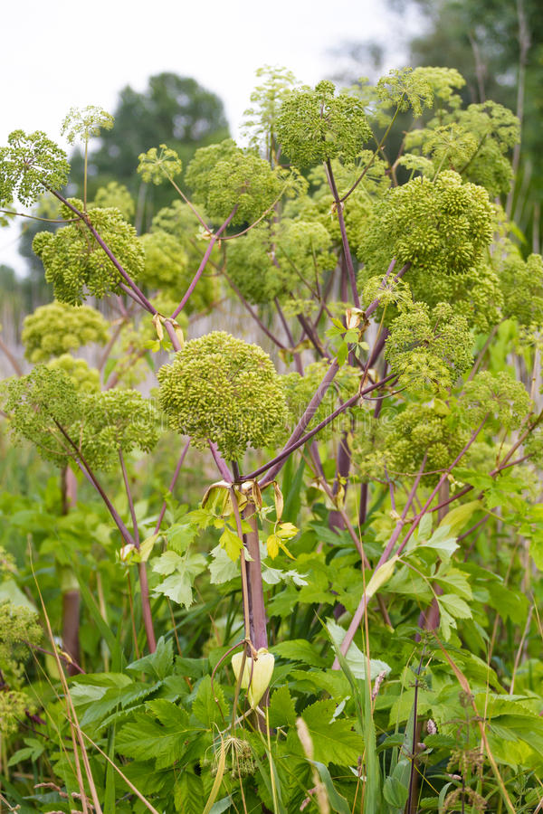 Angelica archangelica. Angelica close photo on green background stock photos