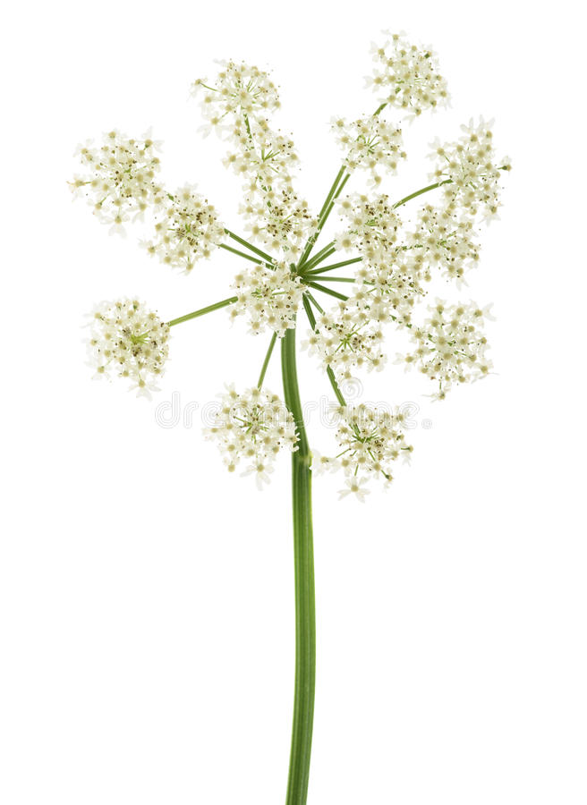 Angelica archangelica flowers. Isolated on white background royalty free stock photo
