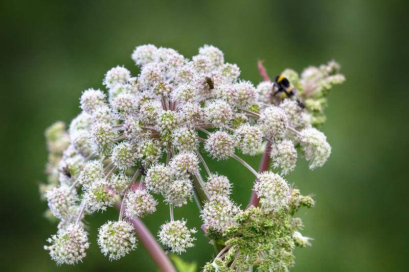 Angelica (Archangelica offic�nalis), umbelliferae, lush flower. Angelica (Archangelica offic�nalis), umbelliferae, flower bumblebees and flies feeds royalty free stock photo