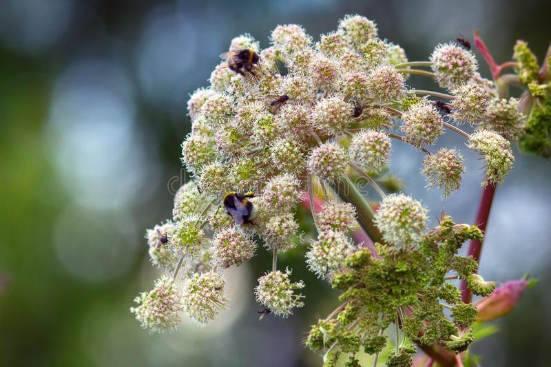 Angelica (Archangelica offic�nalis), umbelliferae, lush flower. Angelica (Archangelica offic�nalis), umbelliferae, flower bumblebees and flies feeds royalty free stock photography
