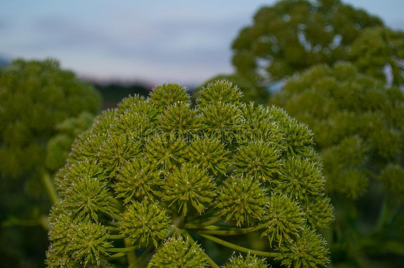Angelica archangelica plant. Angelica archangelica on island of Hrisey in Iceland royalty free stock image