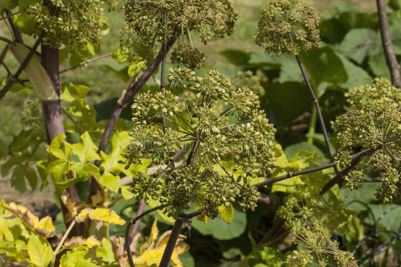 Angelica Archangelica - the plant used in culinary. Angelica oil in aromatherapy, pot - pouri royalty free stock photos