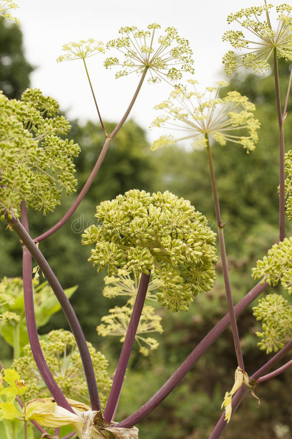 Angelica Archangelica. The plant used in culinary, Angelica oil in aromatherapy, pot - pouri stock images