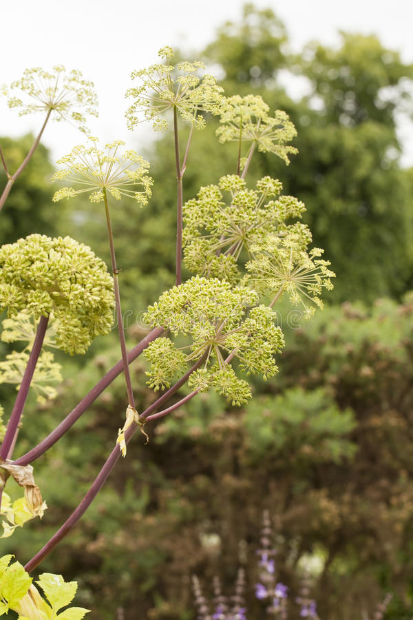 Angelica Archangelica. The plant used in culinary, Angelica oil in aromatherapy, pot - pouri royalty free stock photography
