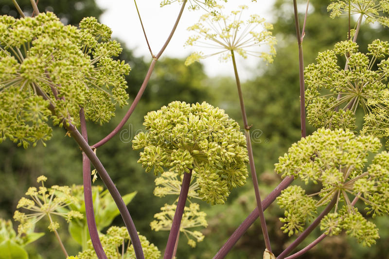 Angelica Archangelica. The plant used in culinary, Angelica oil in aromatherapy, pot - pouri stock photo