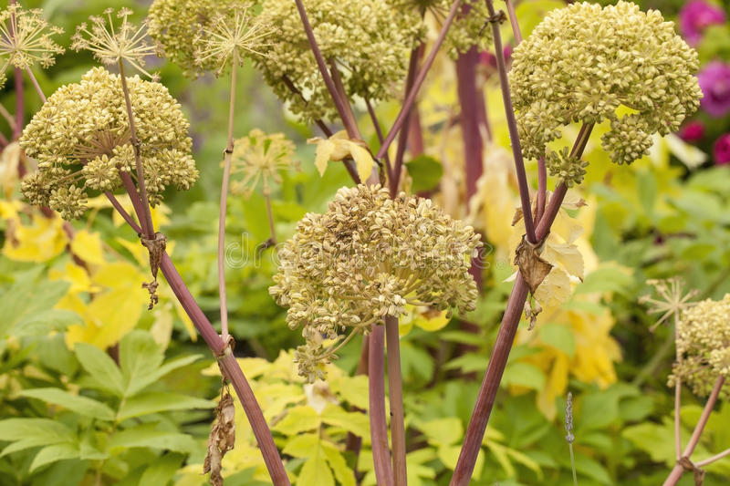 Angelica Archangelica. The plant used in culinary, Angelica oil in aromatherapy, pot - pouri royalty free stock images
