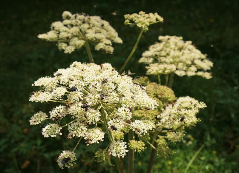 Angelica archangelica stock photo