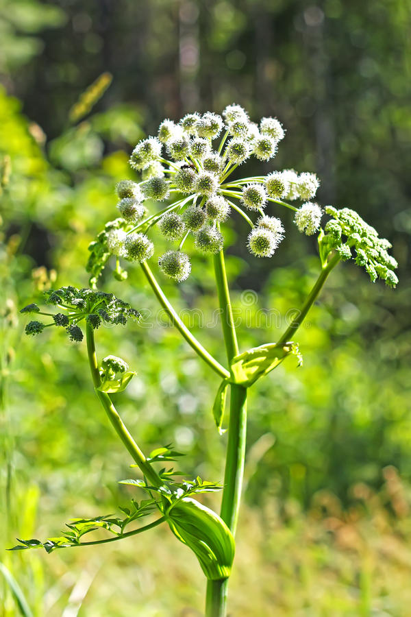Angelica forest, or woodland Angelica (Angelica sylvestris Latin. ). Species of the genus Angelica (Angelica) Apiaceae (Apiaceae royalty free stock photo