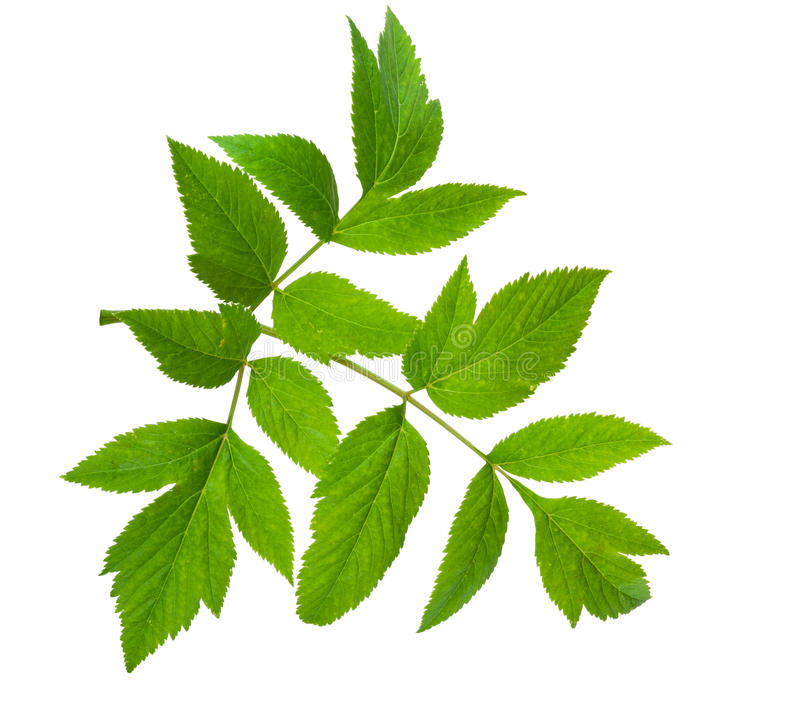 Angelica herb leaf sprig. On white background stock photo