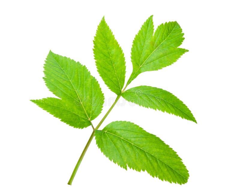 Angelica herb leaf sprig. On white background stock image