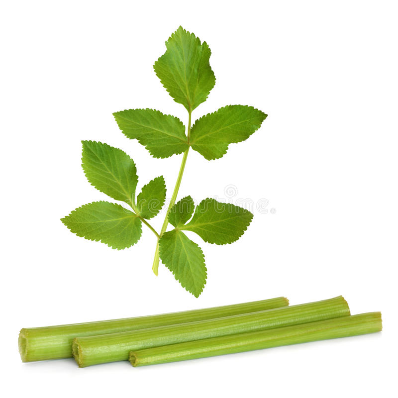 Angelica Herb Leaf and Stems stock photos